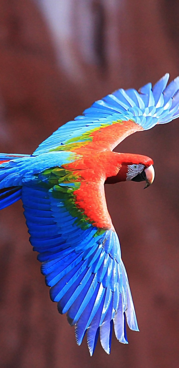 Hd 3d Wallpapers For Iphone 6 1080p Red And Green Macaw Ultra Hd Wallpaper 720x1480