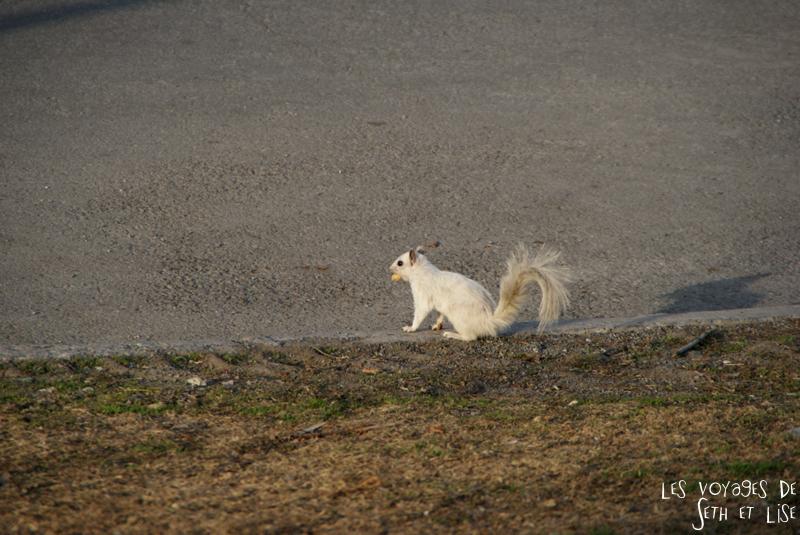 blog voyage canada pvt montreal ecureuil blanc mignon