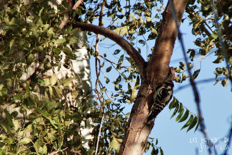 blog pvt canada montreal photographie voyage couple tour du monde quebec pic vert oiseau nature arbre