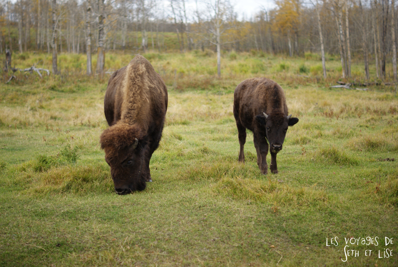 blog voyage canada pvt photo elk island alberta bison