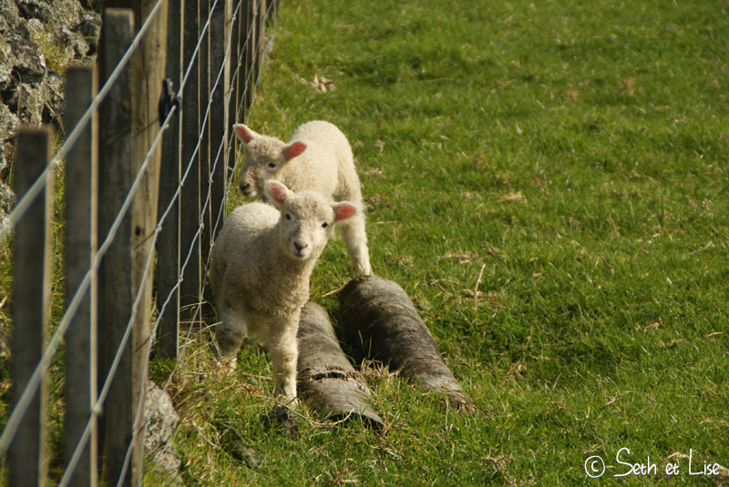 Le seigneur des agneaux