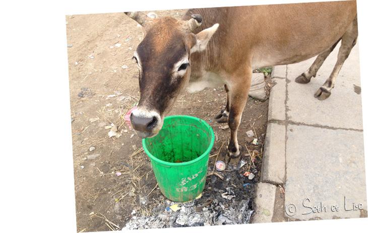Une vache sacrée qui se paye un p'tit dej sacrément dégueu.