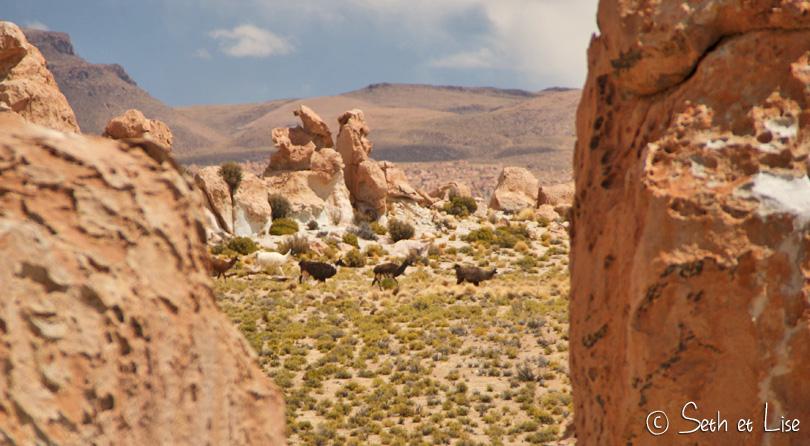 lama bolivia