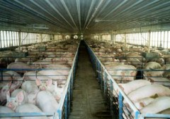 "Pigs in huge factory farms like this are, Hari says, ""stressed, depressed and permanently in panic,"" making them vulnerable to viruses, which can then live in their manure for more than a month."