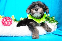 Small Of Maltese Yorkie Mix