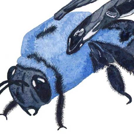 Carpenter Bee close-up. Watercolor on 140 lb. cold press paper. © 2013 Sheila Delgado