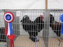 Prize Cockerel