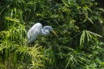 Egret waiting for fish