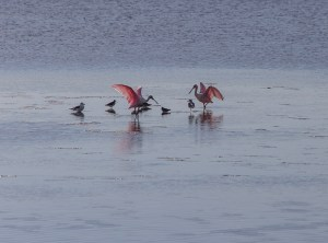 Roseate Spoonbills Showing Off