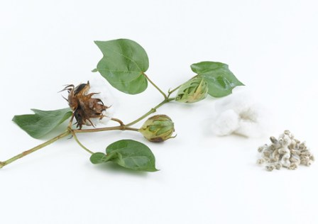 Cotton plant and seed on white background