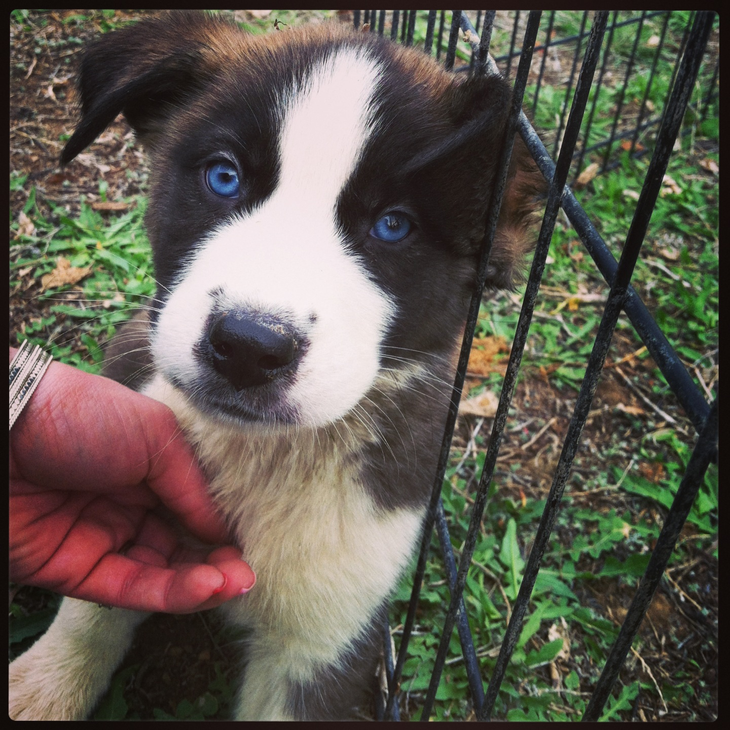 Modish Sale Your Cause Husky Mix Puppies Sale Indiana Husky Mix Puppies Here Are Some S Saint Bernard Husky Mix Saint Bernard Husky Mix Shop bark post Husky Mix Puppies