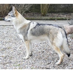 Small Crop Of German Shepherd Wolf Hybrid