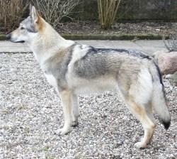 Small Of German Shepherd Wolf Hybrid