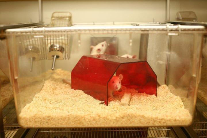 Células humanas são usadas para criar ratos mais inteligentes