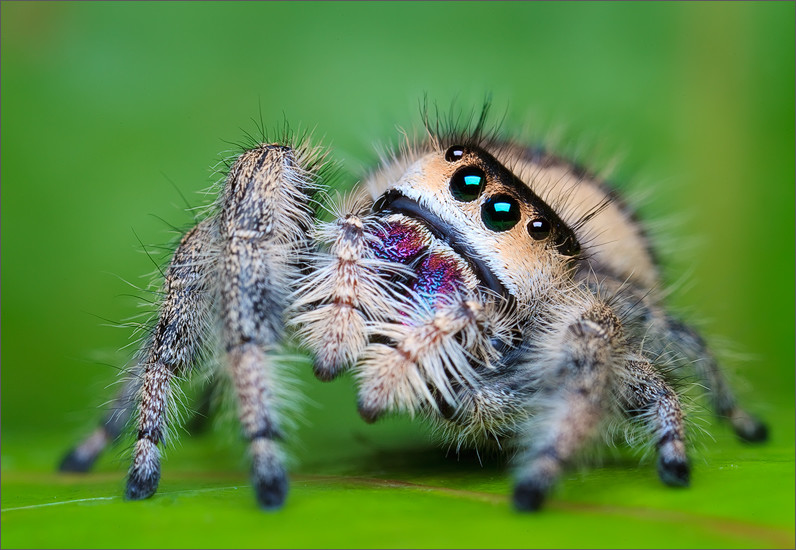 Cute Jumping Spider Wallpaper Zglavkari Pauk