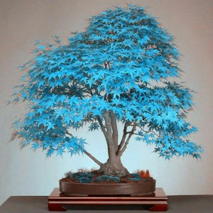 Colored Maple Bonsai Tree Seeds