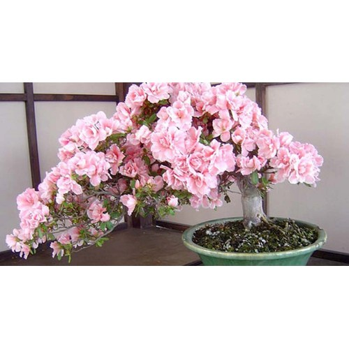 Medium Crop Of Cherry Blossom Bonsai Tree