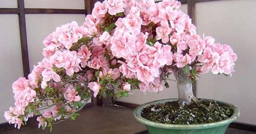 Medium Of Cherry Blossom Bonsai Tree