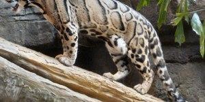 Sunda Clouded Leopard 2