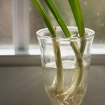 growing-green-onions-M