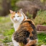 20140419-calico-cat-L