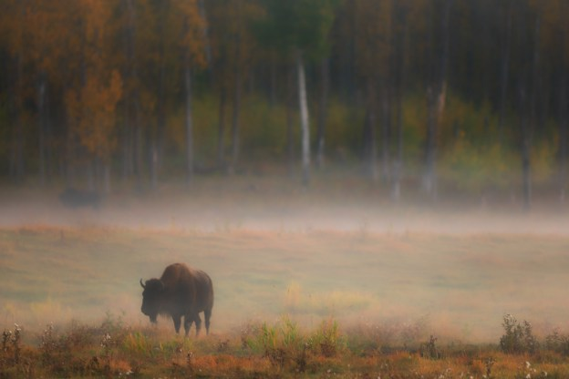 Bison At Sunrise Elk Island Park