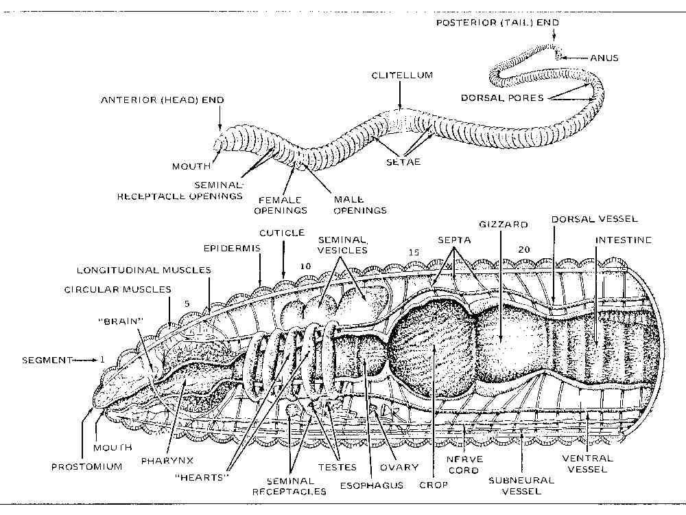 labeled diagram of starfish