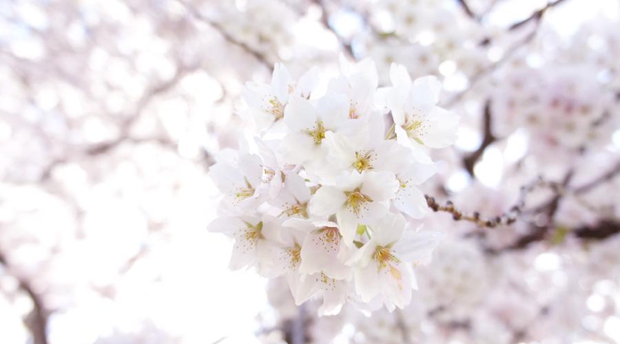uw_cherry_blossoms0