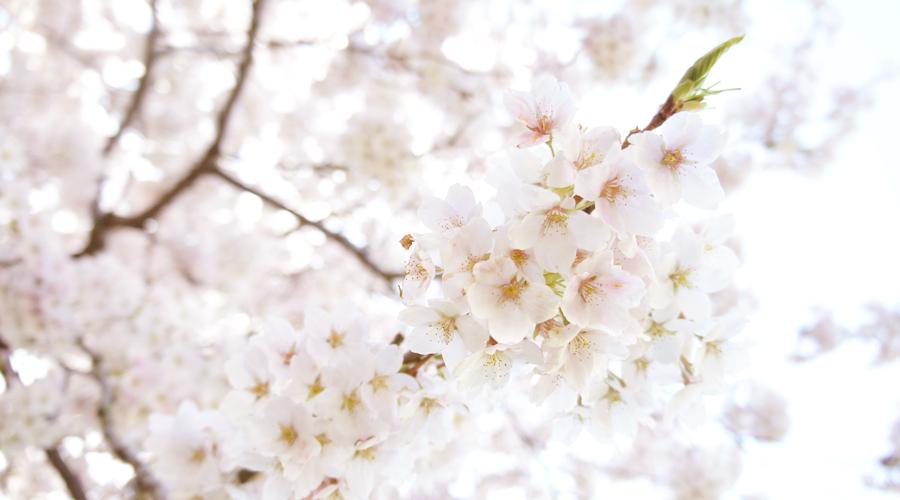 uw_cherry_blossoms1