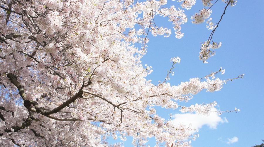 uw_cherry_blossoms7