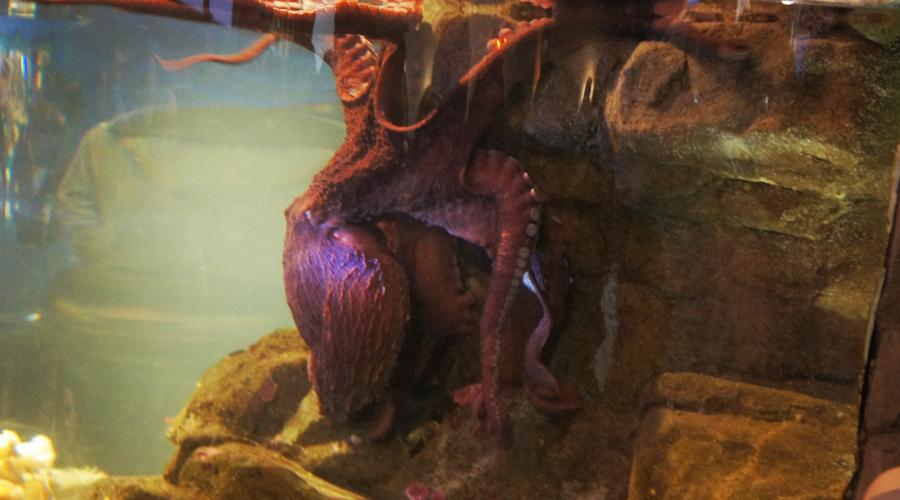 01-seattle-aquarium-octopus-2