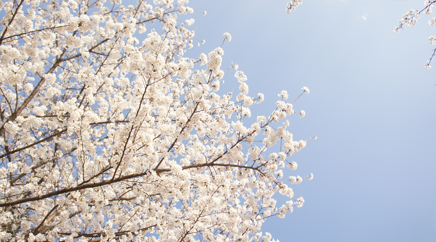 cherry-blossoms-sokchon-lake-korea--03