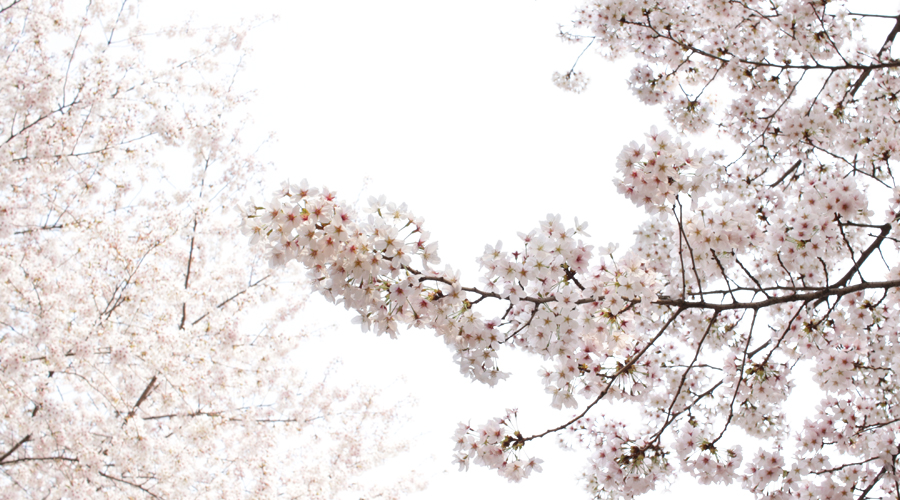 2015-04-09-korea-seoul-jamshil-seokchon-lake-cherry-blossoms-09