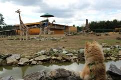 Silmoralbion's Arya giraf