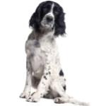 Spaniel - Online dog training courses