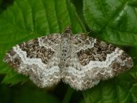 70.061 BF1738 - Common Carpet - Geometridae - Epirrhoe ...