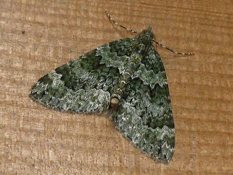 Autumn Green Carpet Moth Carpet Vidalondon
