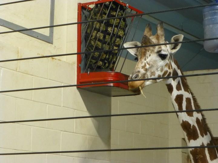 Giraffe, Como Park Zoo