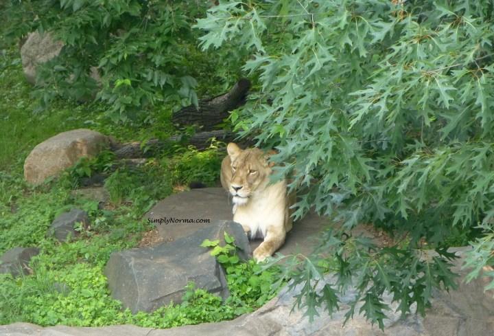 Lion, Como Park Zoo