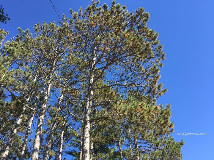 Pines Trees, Minnesota