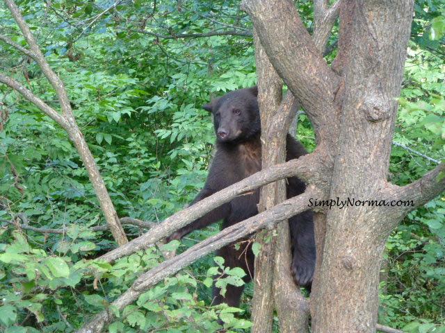 Bear In Tree, Vince Shute Wildlife Sanctuary