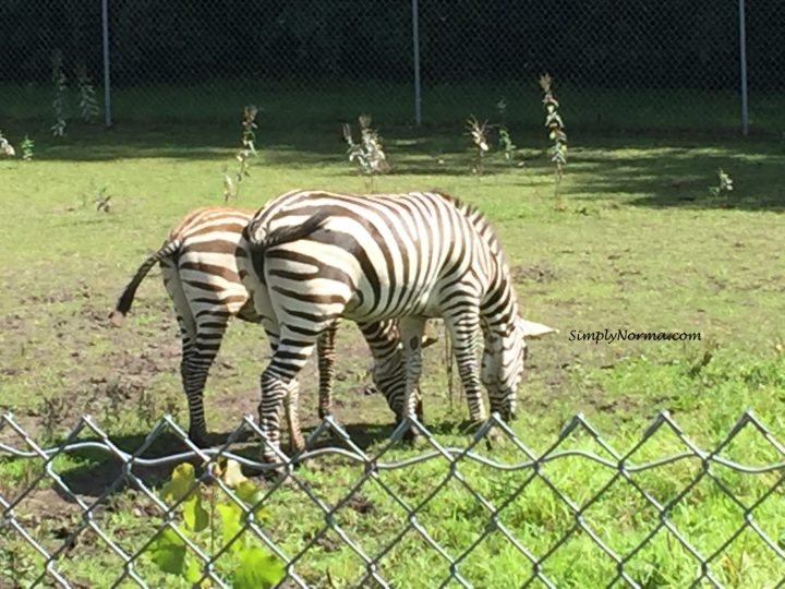 Zebras, Pine Grove Zoo