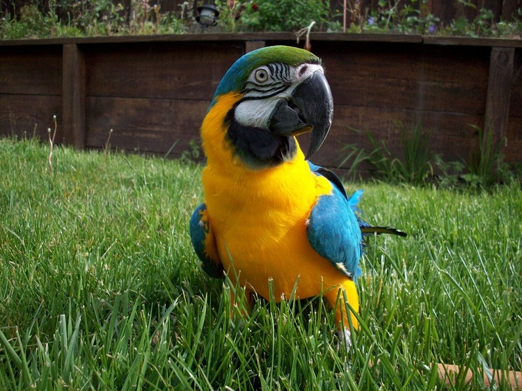 Cute Parakeet Wallpaper Blue And Gold Macaw Facts Care As Pets Pictures