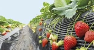 cosechera-de-frutillas