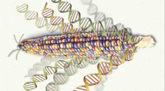 Ten thousand years of GMO foods – making inedible edible