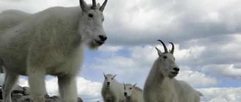 Colorado wildlife mountain goats
