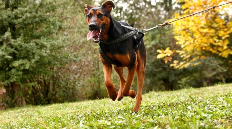 Salvador – pies pędziwiatr