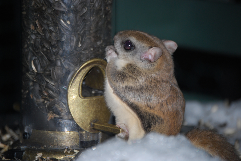 Cute Cat With Good Morning Wallpaper Squirrel Southern Flying Squirrel Info Photo 2