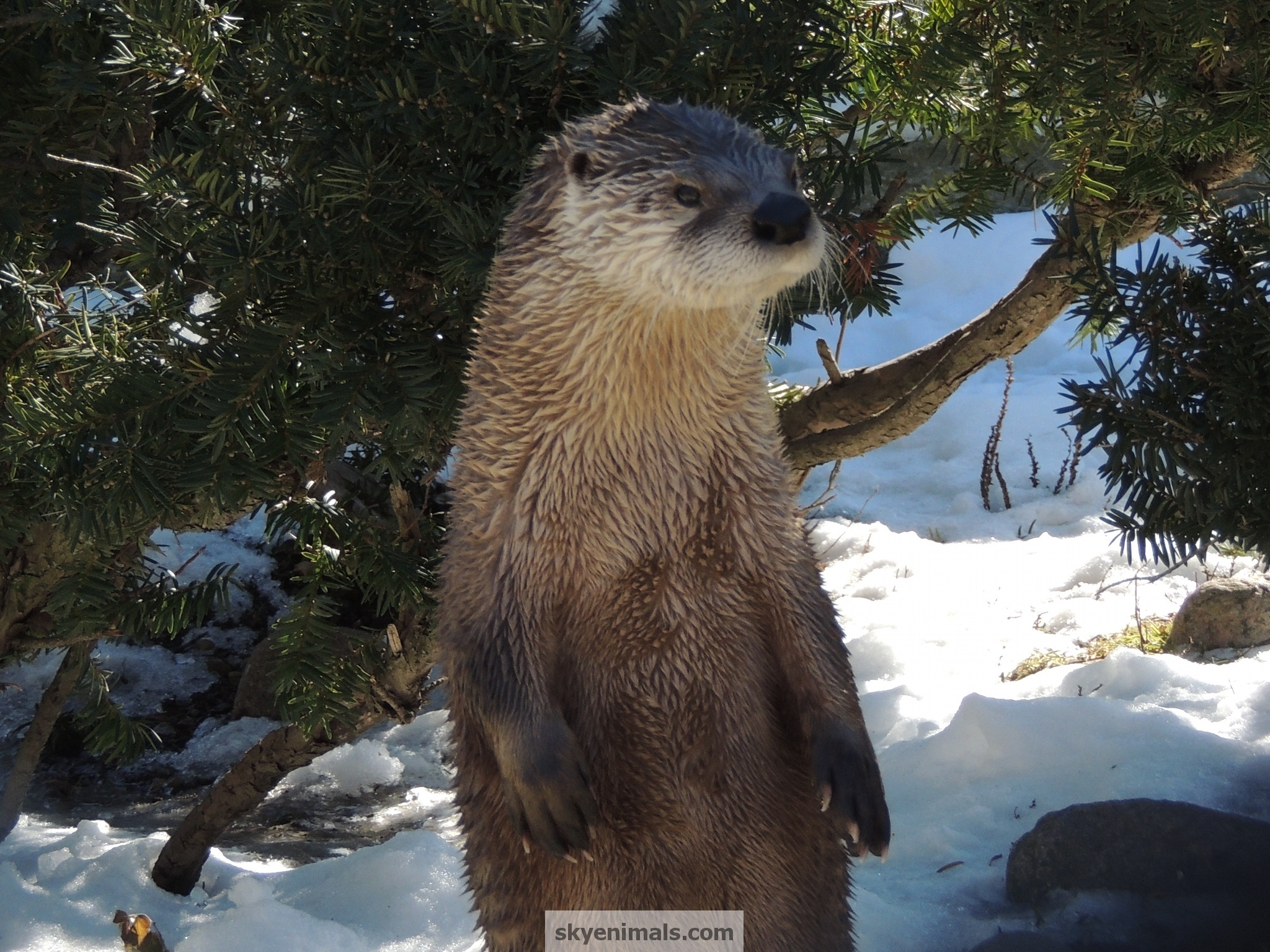 Cute Otter Wallpaper Wallpaper North American River Otter Images
