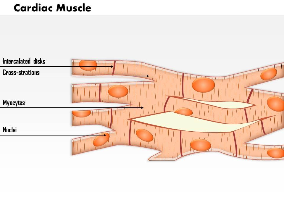 0614 Cardiac Muscle Medical Images For Powerpoint PowerPoint